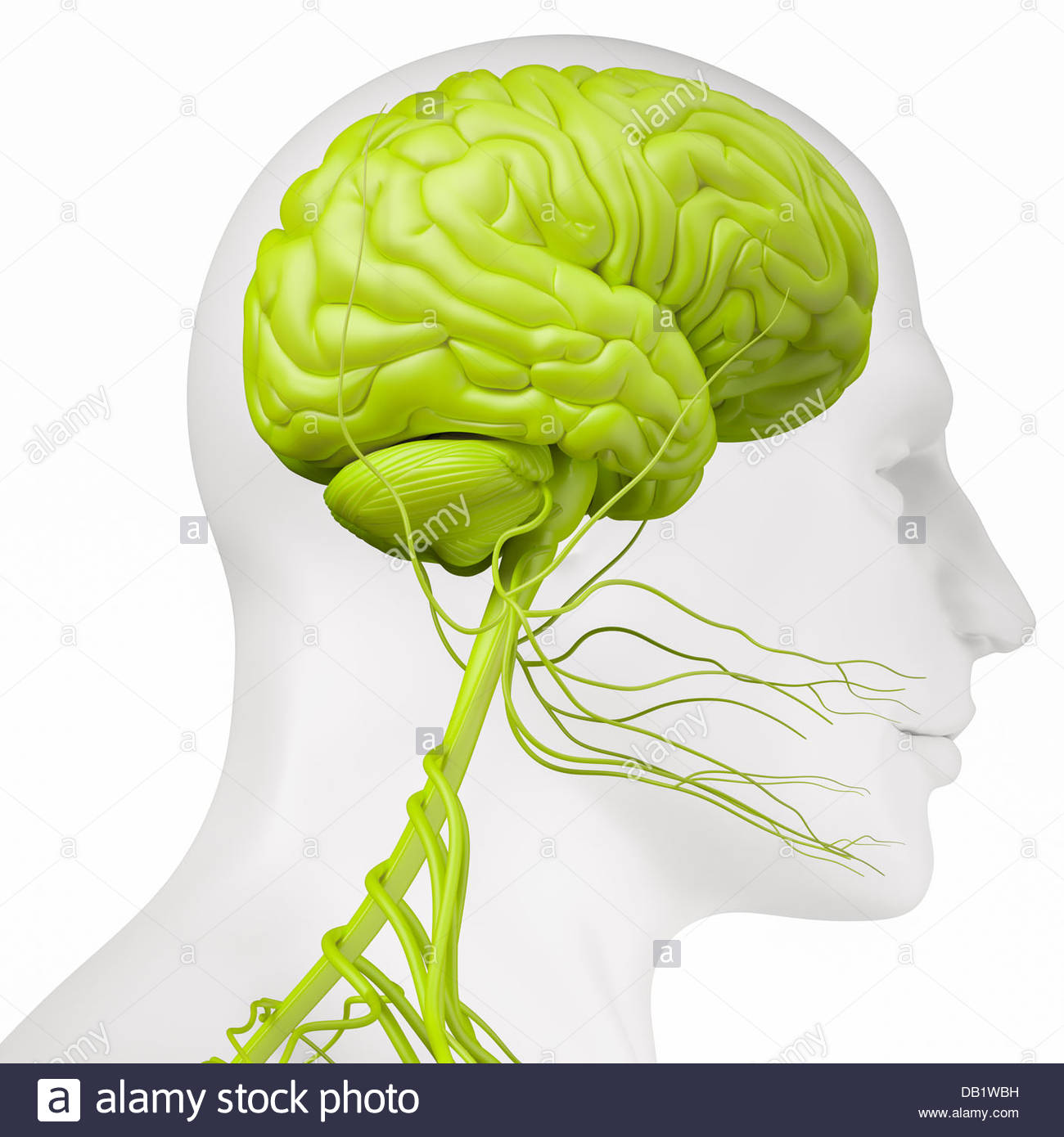 Digital medical illustration depicting the side view of the nervous system in the head and neck. - Stock Image