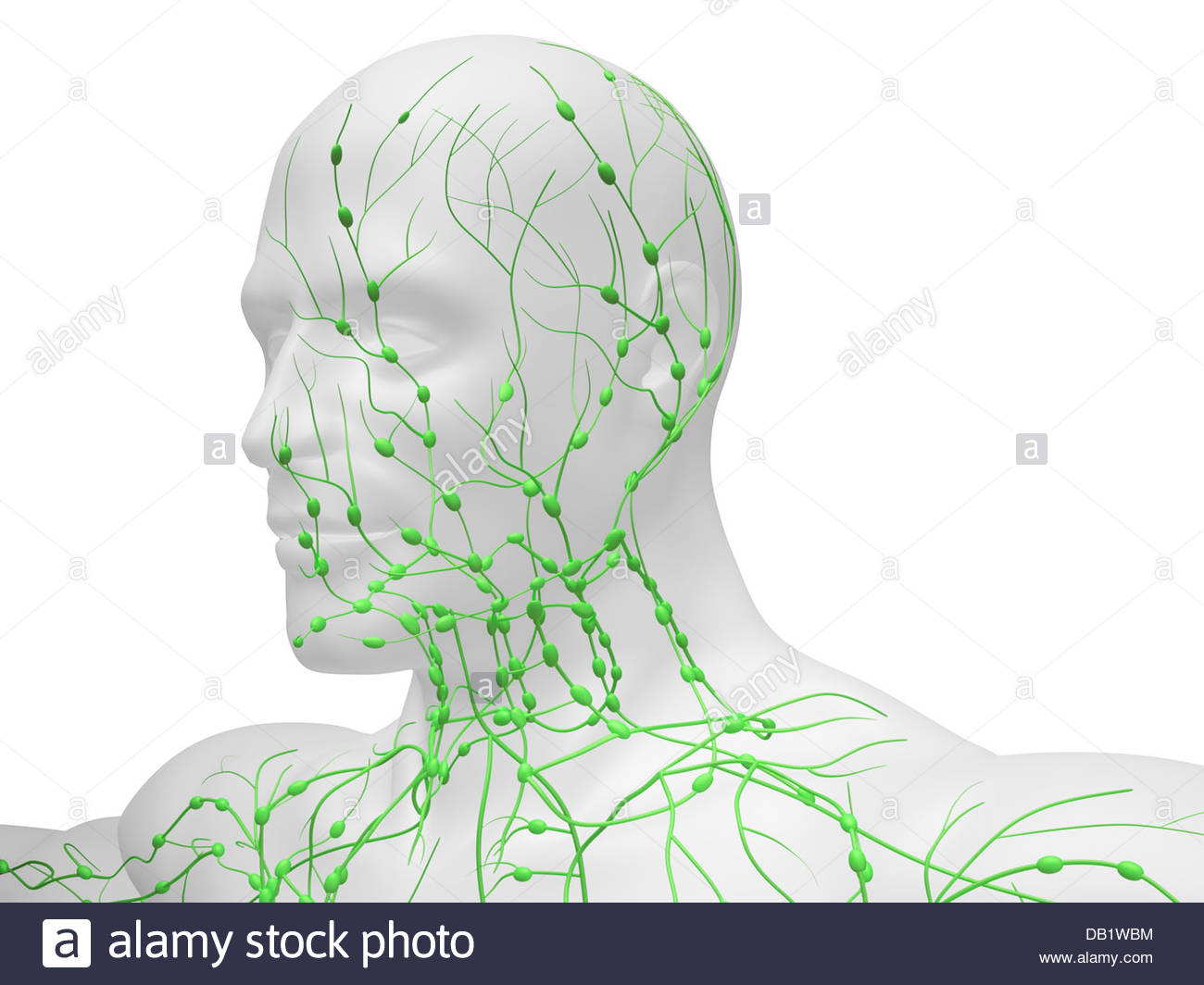 Lymphatic System Of Neck And Head Stock Photos Lymphatic System Of