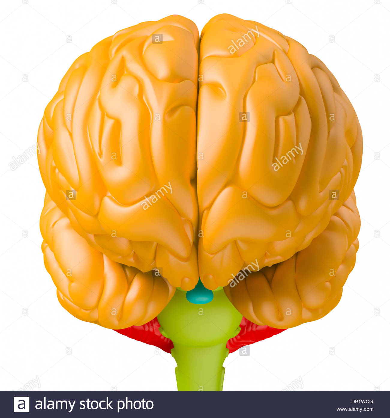 Digital medical illustration depicting the human brain.Orange:brain lobes.Blue:pituitary gland.Green: brain stem.Red: - Stock Image