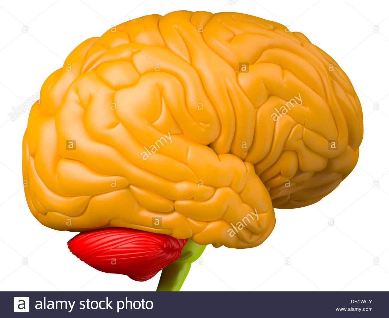 Digital medical illustration depicting the side view of the human brain. Orange: brain lobes. Green: brain stem. - Stock Image