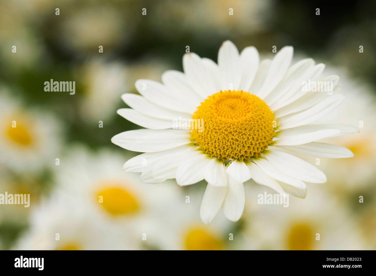Anthemis tinctoria in a cottage garden. - Stock Image