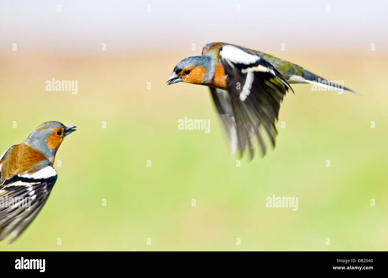 Chaffinches in flight Stock Photo