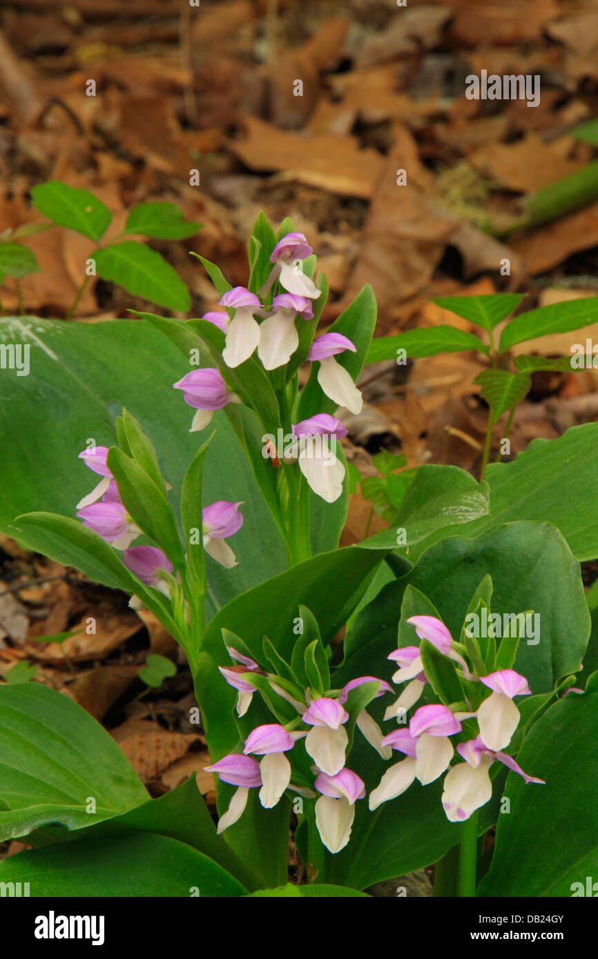 Showy Orchis, Bradley Fork Trail, Great Smoky Mountains National Park, North Carolina, USA - Stock Image