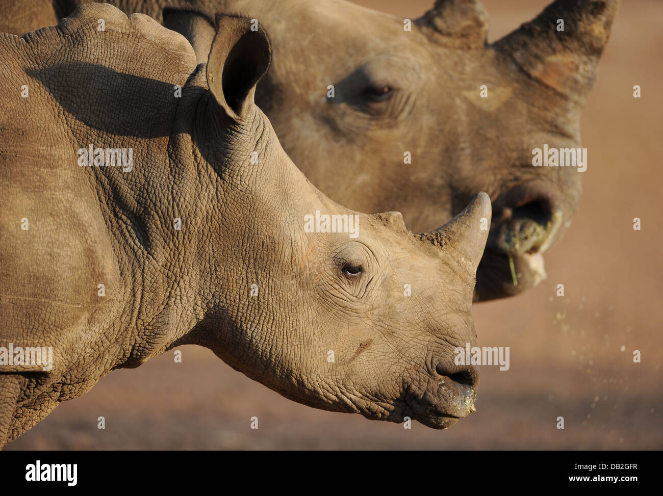 white rhinoceros female and young on profile - Stock Image