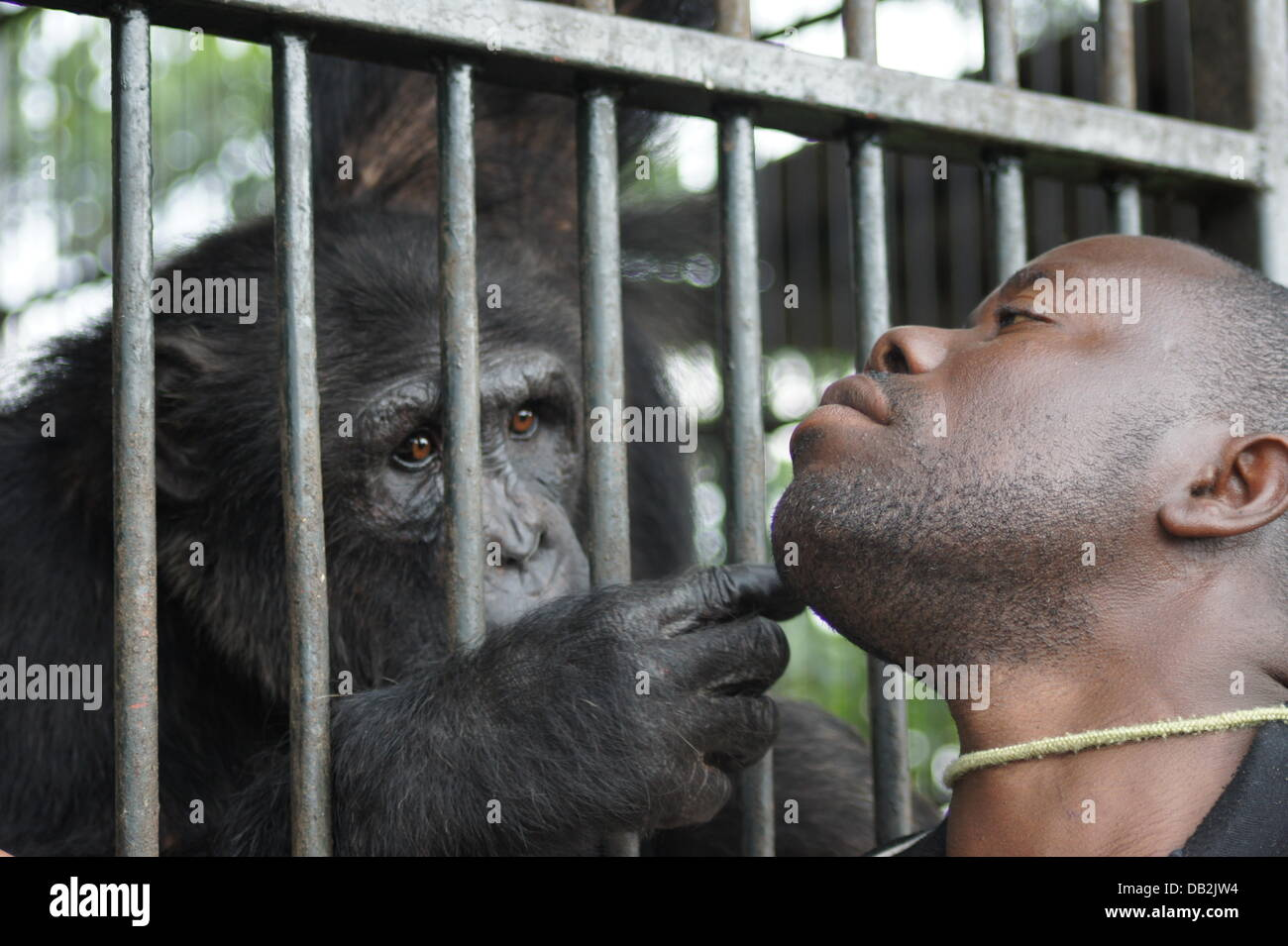 Steny Nyendwi, one of the managers of the Chimpanzee island Ngamba Island in the Lake Victoria, Uganda, takes care - Stock Image