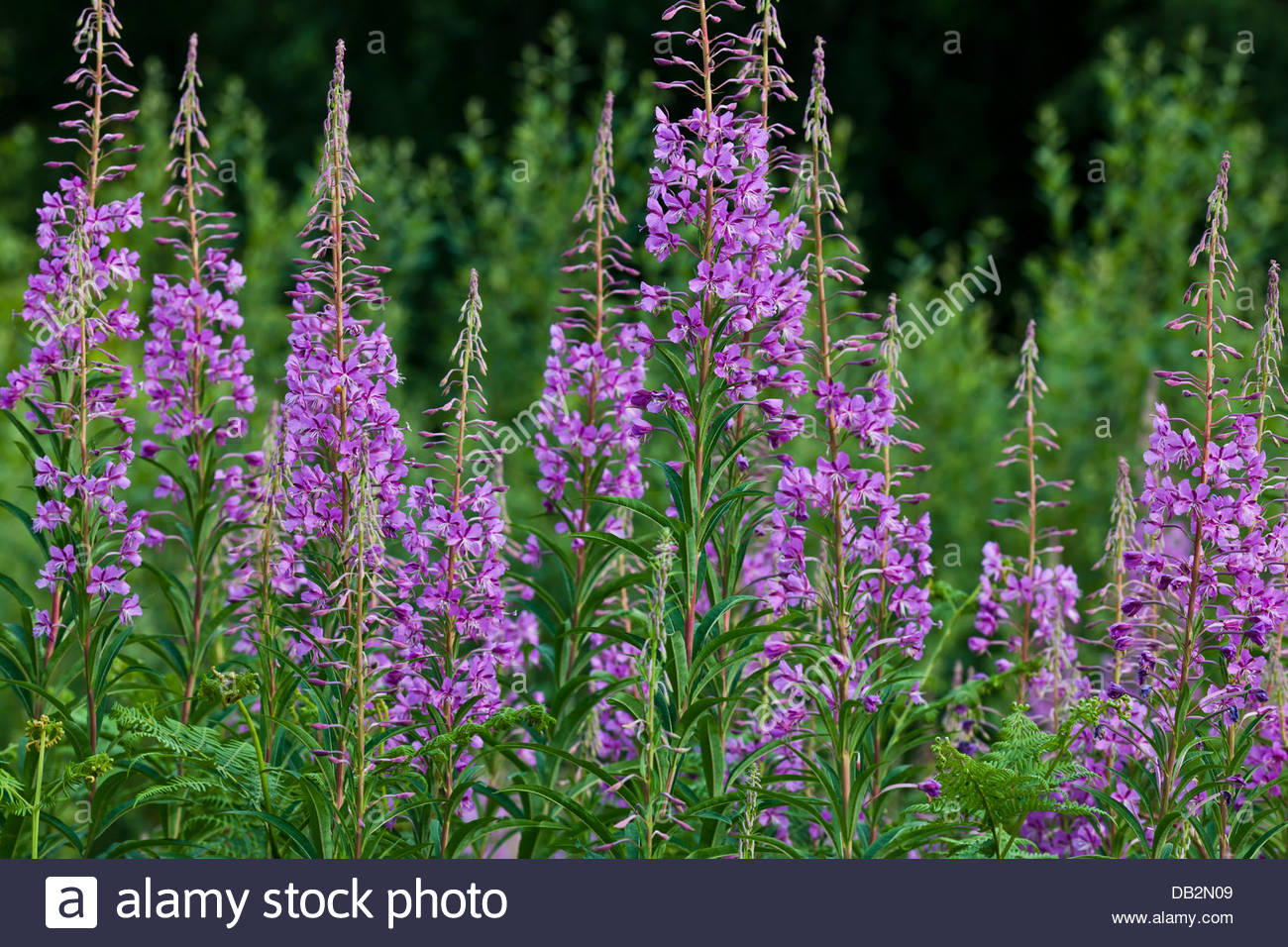 Purple willow weed stock photos purple willow weed stock images rosebay willow herb chamerion angustifolium summer flower wild native red purple perennial invasive garden weed mightylinksfo