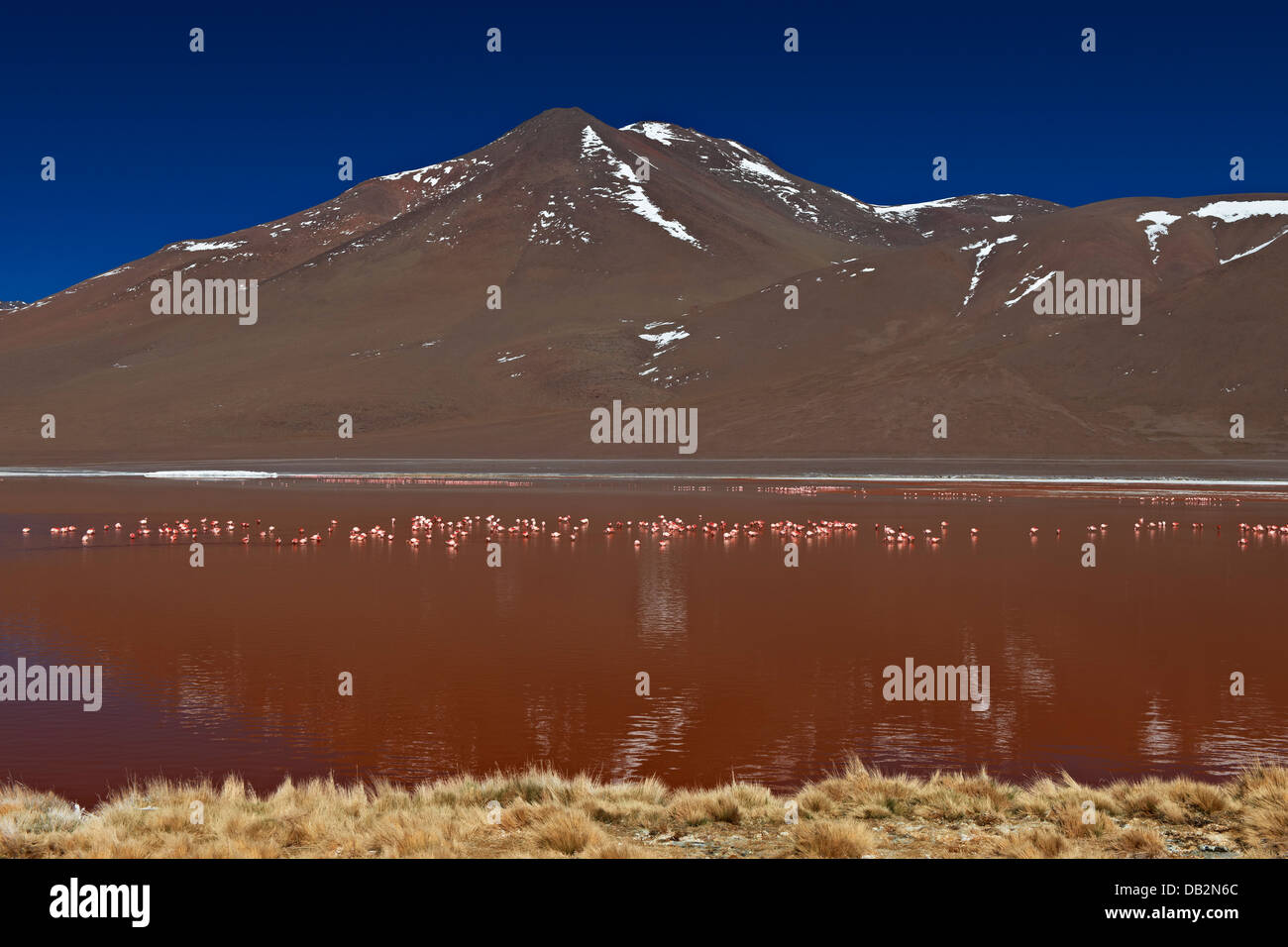 James's Flamingo, Phoenicoparrus jamesi, on Laguna Colorada, Colorada Lake or red laggon, Bolivian Andes Stock Photo