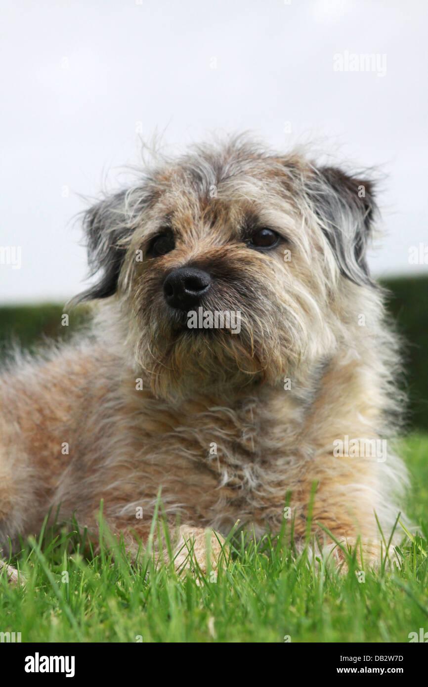 elderly boarder terrier pet dog resting on the garden grass - Stock Image