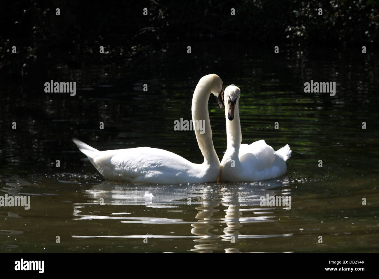 two swans dancing together on a small pond Stock Photo