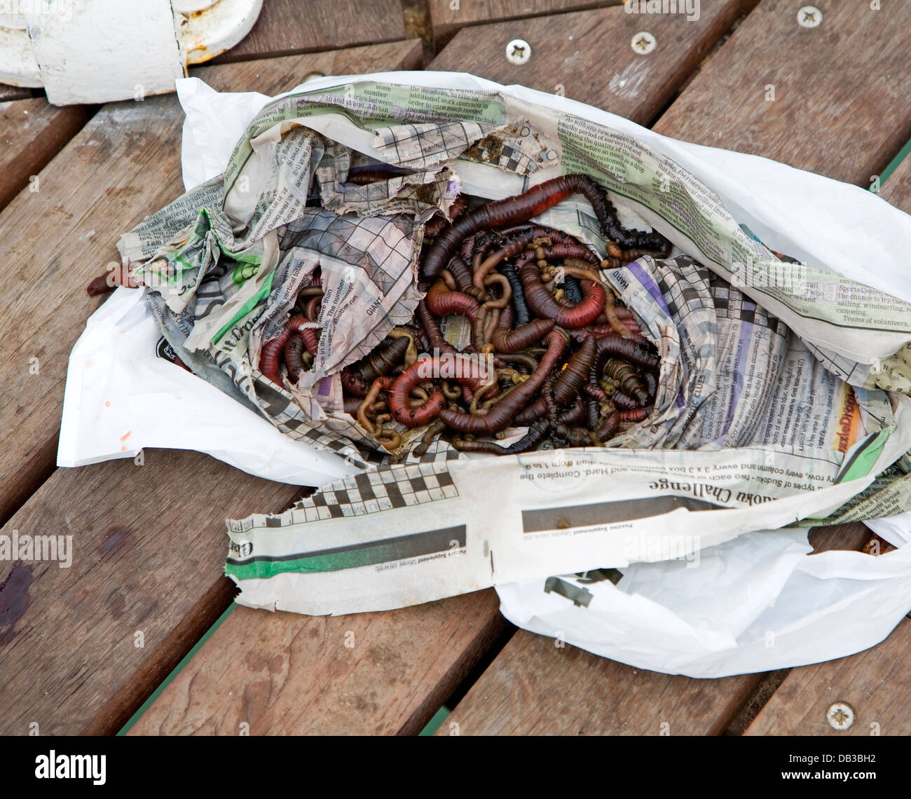 Lug worms wriggling in newspaper - Stock Image