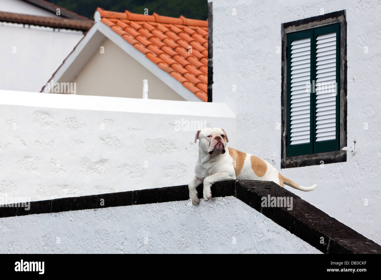 Attentive watchdog, presumably a Mastiff breed, guarding a house entrance. - Stock Image