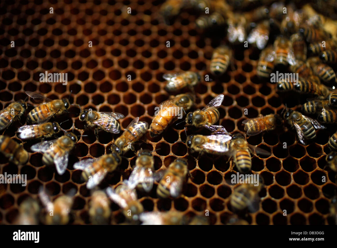 A queen bee, center, is surrounded by honeybees in Villanueva de Mesia, Granada, Andalusia, Spain, June 7, 2013. - Stock Image