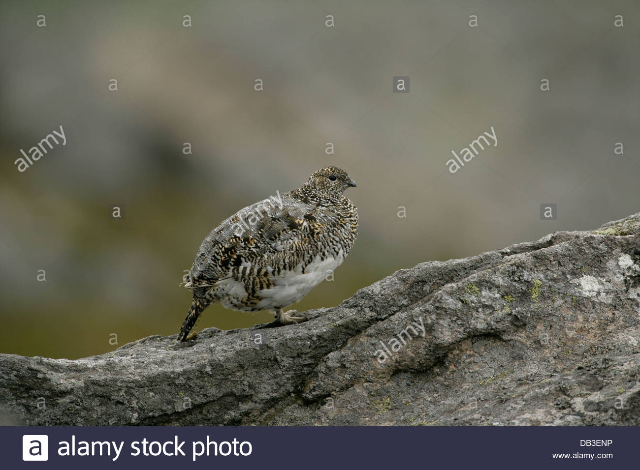 Ptarmigan in Summer plumage in the mountains of Scotland - Stock Image