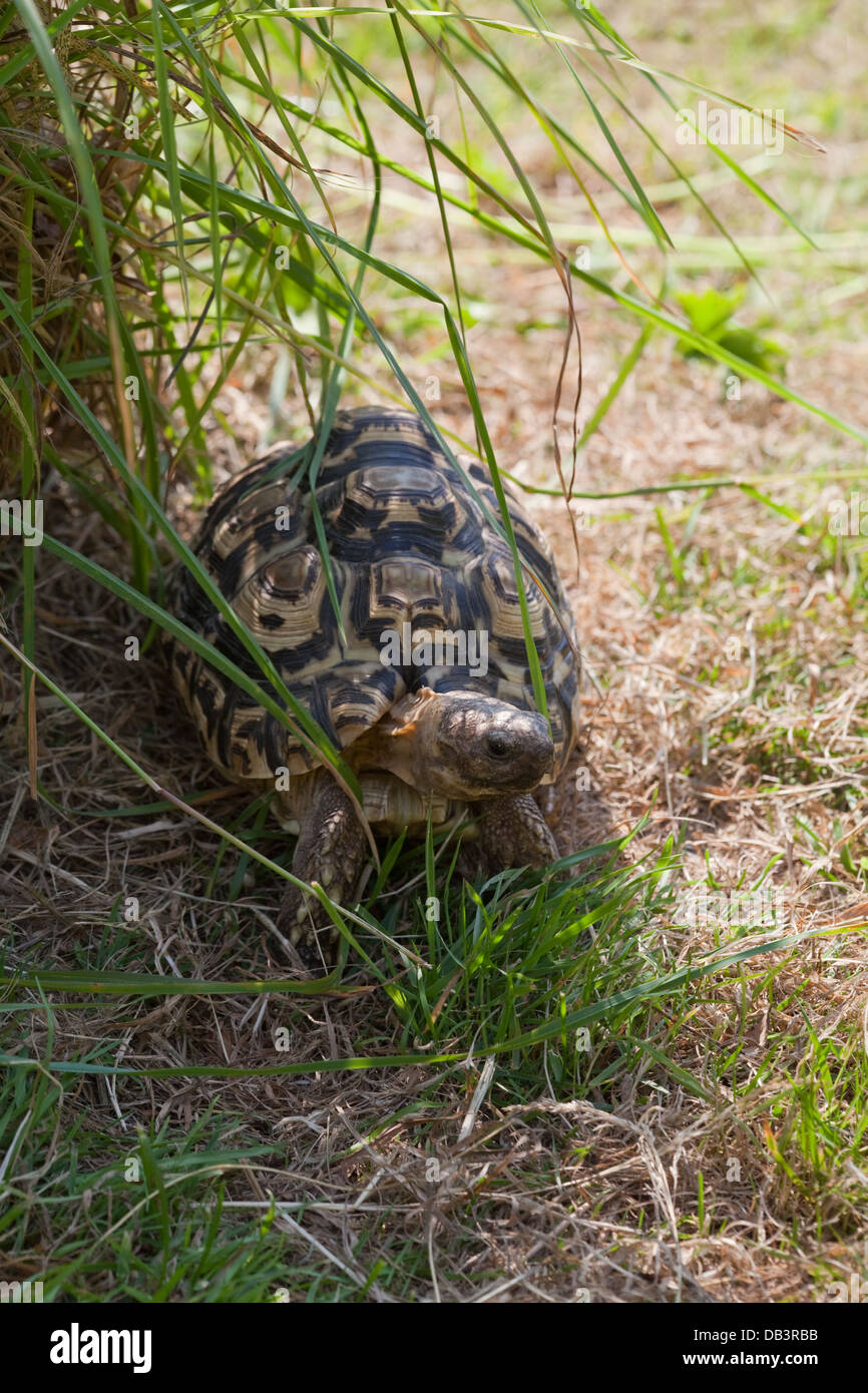 Leopard Tortoise (Geochelone pardalis). Illustrating 'thermo-regulation', animal moving out of direct sun - Stock Image