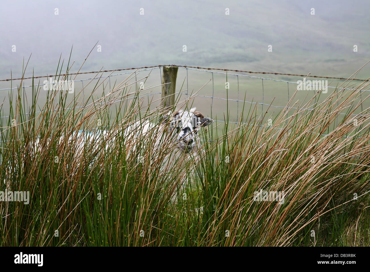 Close up of one sheep in fog hidden in tall grass, earth, County Kerry,  Ireland, Europe, Eu farming - Stock Image