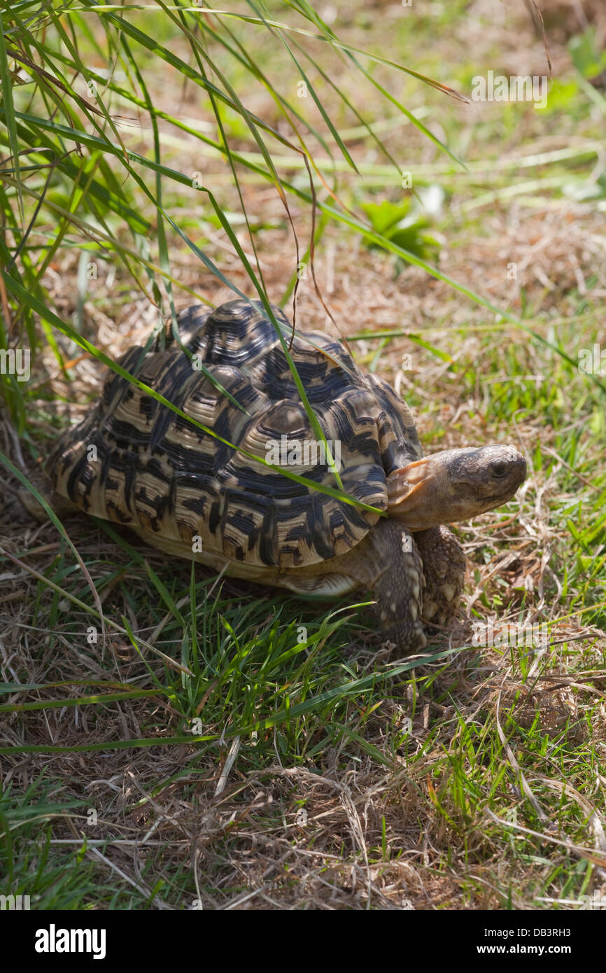 Leopard Tortoise (Geochelone pardalis). Illustrating how cryptic carapace markings help brake up outline of animal - Stock Image
