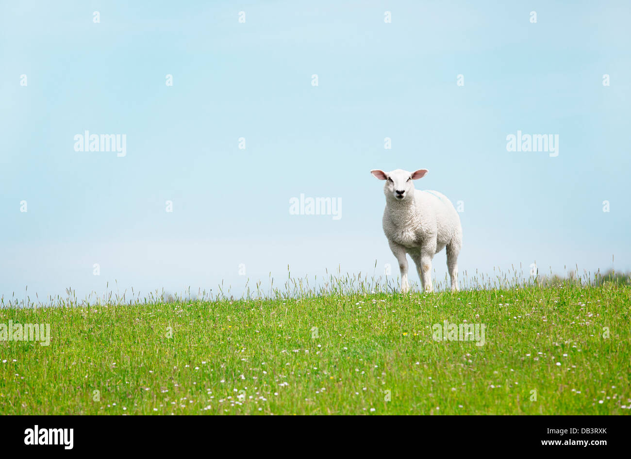 a white sheep standing on the dike and looking at the camera - Stock Image