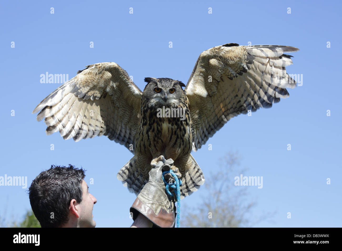Eagle Owl; Bubo bubo; and Handler; UK - Stock Image