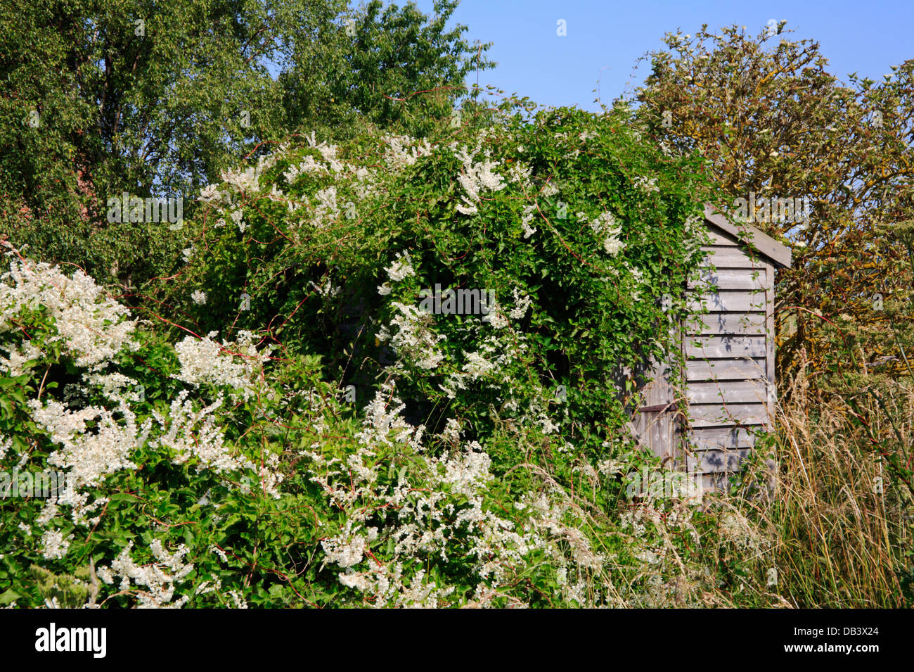 An example of an invasive Russian vine partly covering a wooden shed. - Stock Image