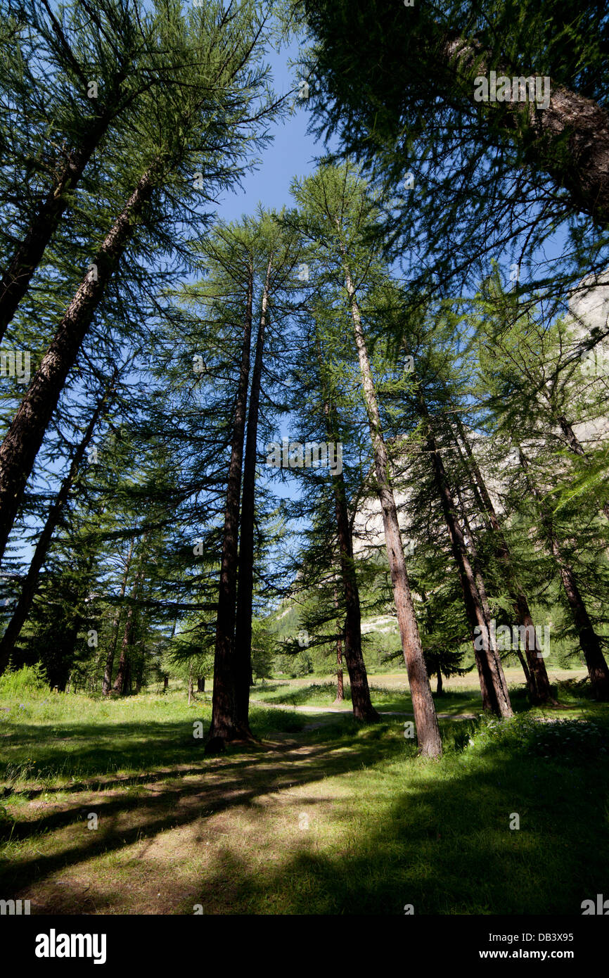 Pine trees wood. Courmayeur ,Val Veny, Valle d'Aosta, Italy - Stock Image