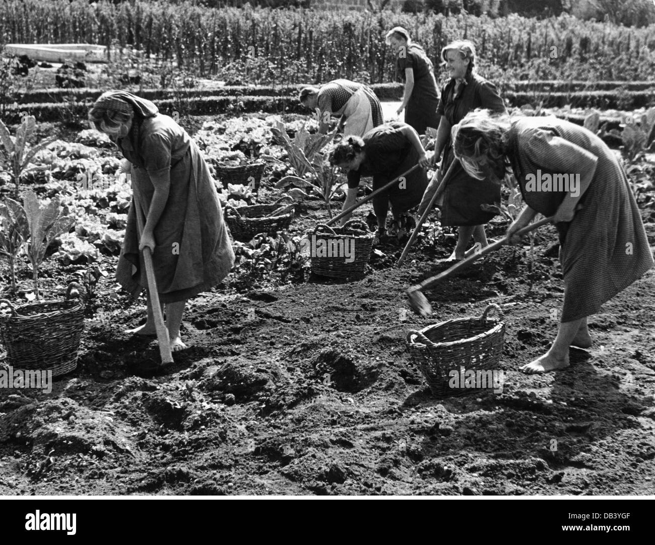 agriculture, harvest, harvesting potatoes, 1950s, , Additional-Rights-Clearences-Not Available Stock Photo