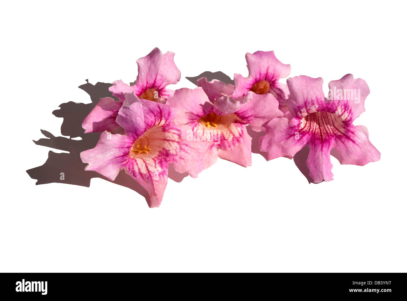 Flowers of pink color, with bell-shaped. Podranea ricasoliana - Stock Image