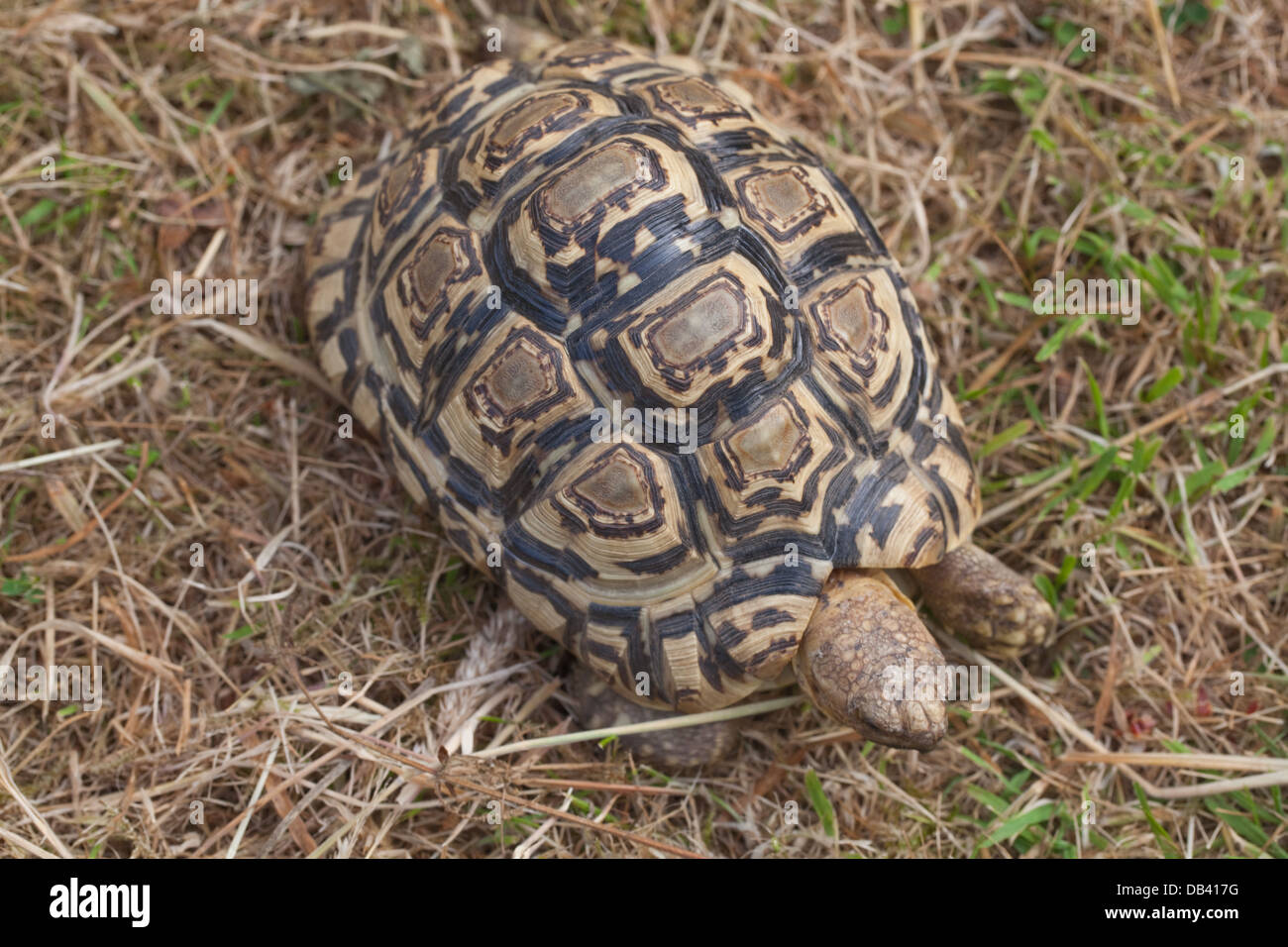Leopard Tortoise (Geochelone pardalis). Carapace showing disruptive pattern of markings which break up and camouflage - Stock Image