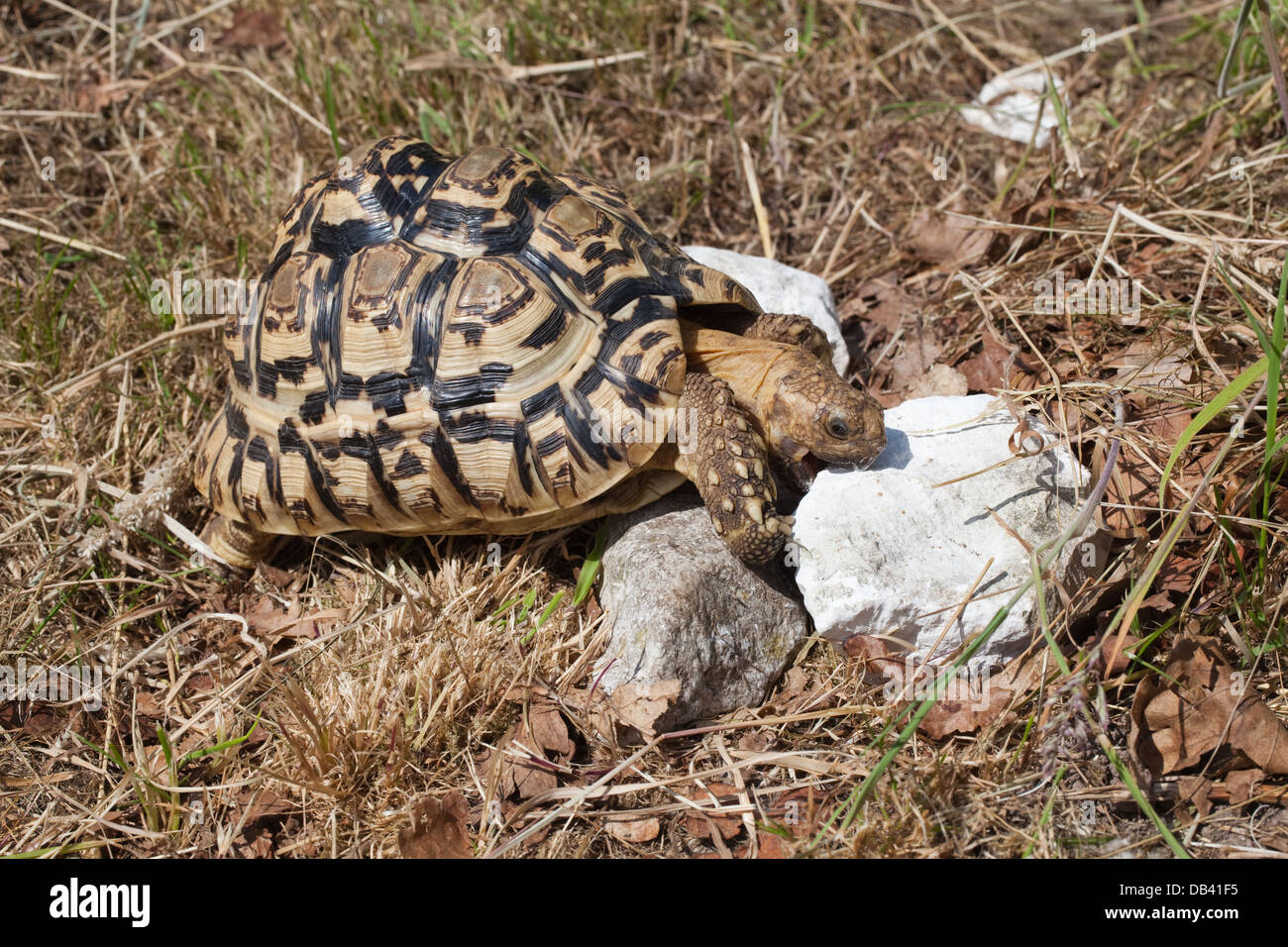 Leopard Tortoise (Geochelone pardalis). Rasping and consuminging chunks of limestone in order to satisfy need for - Stock Image