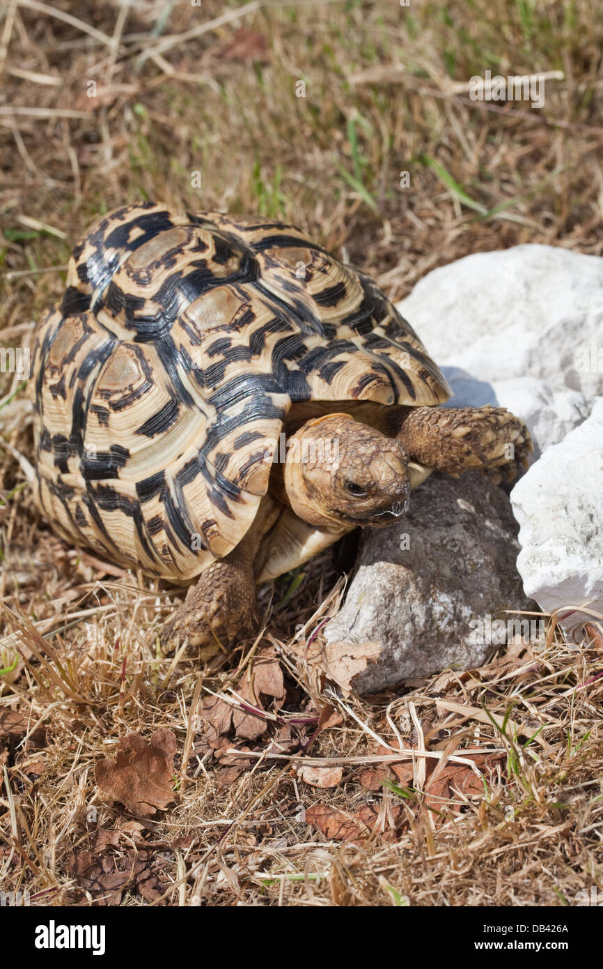 Leopard Tortoise (Geochelone pardalis). 'Beak' of upper jaw outlined in white from rasping and consuminging - Stock Image