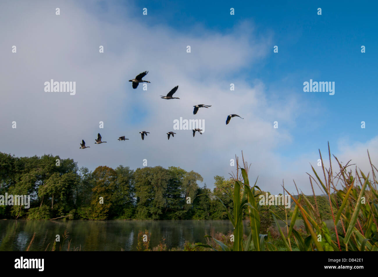 Europe, Belgium, Ardennes, Meuse valley geese - Stock Image