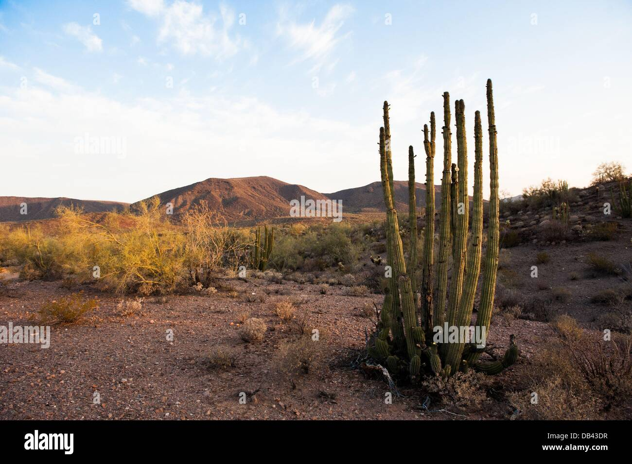 June 13, 2013 - Lukeville, Arizona, United States - An organ pipe cactus seen in a closed-to-the-public part of Stock Photo