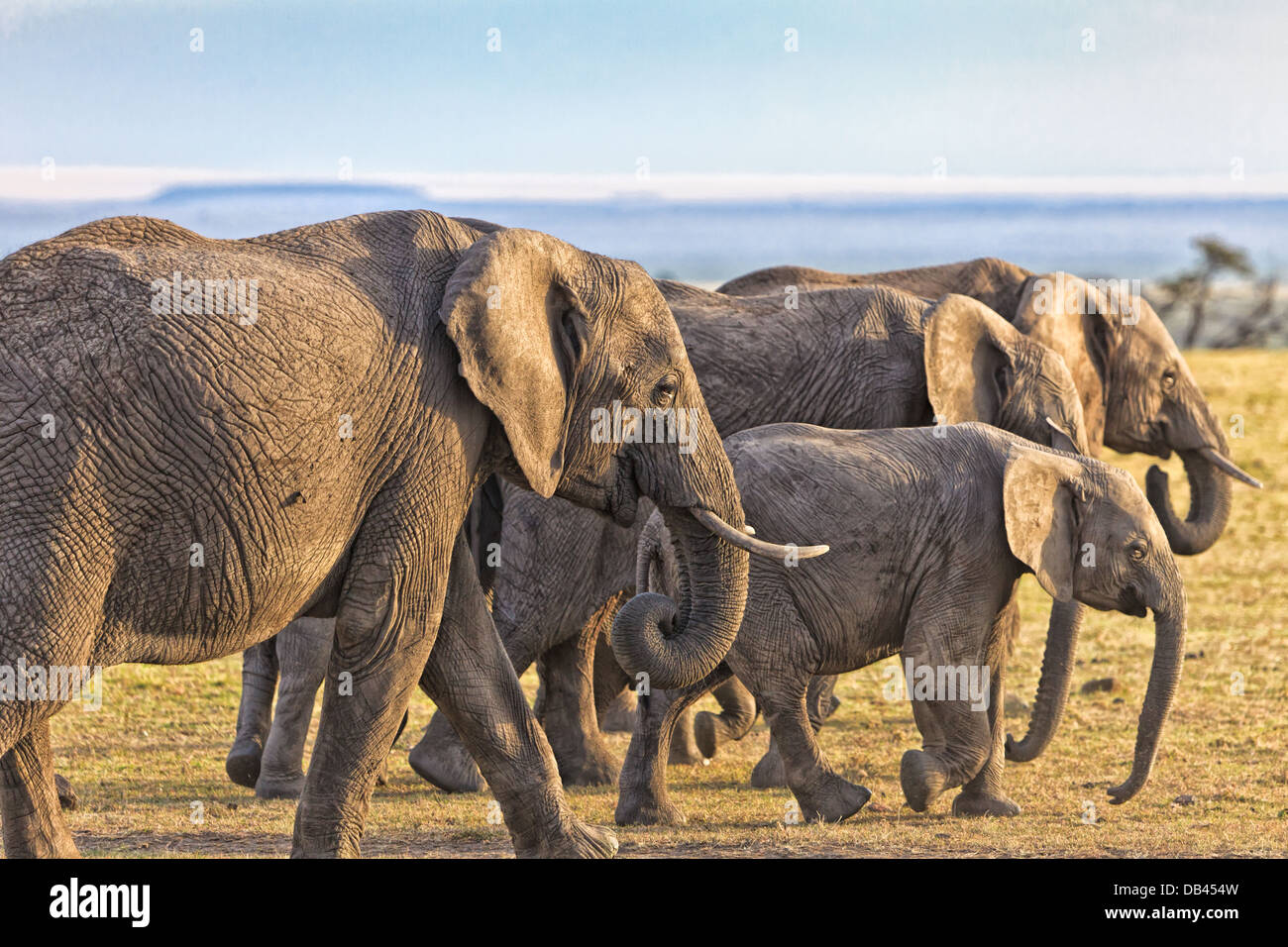 African Elephants Herd peacefully walking through the masai mara, in Kenya, Africa - Stock Image