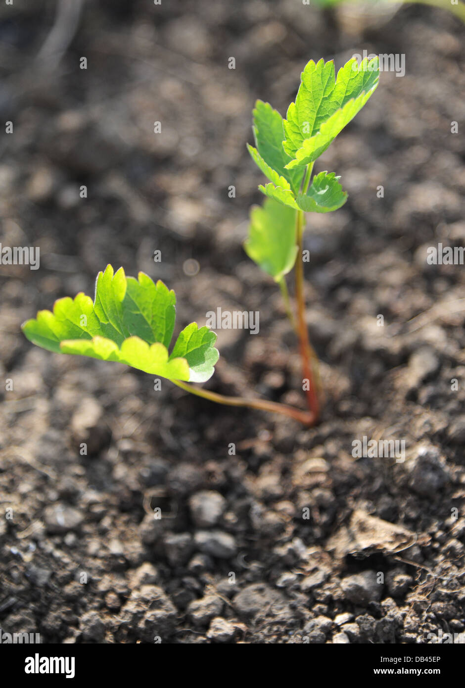 The leaves of a parsnip seedling glowing in the morning sunshine. - Stock Image