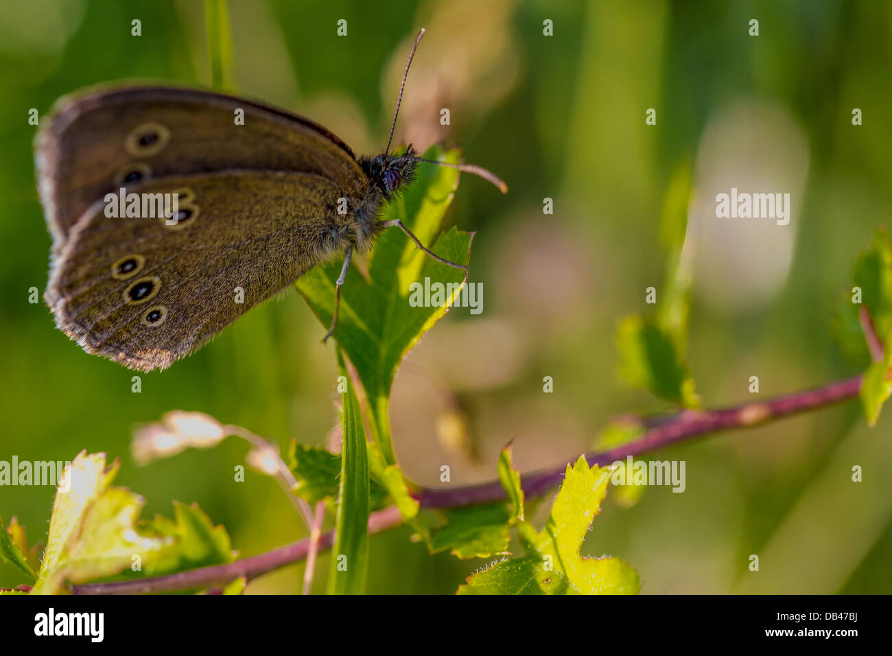 Ringlet butterfly found in south-east England. Stock Photo