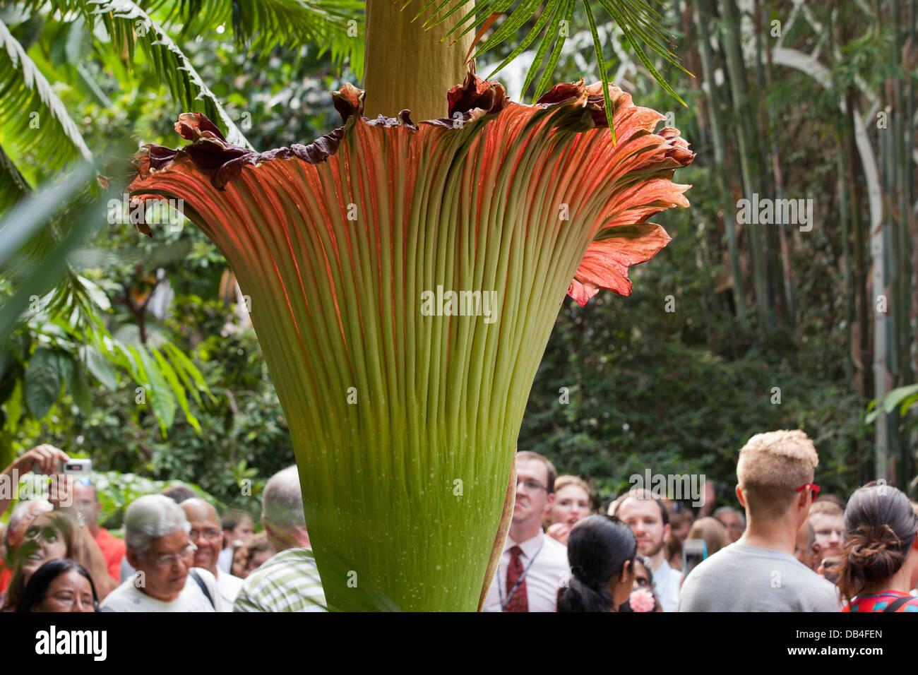 People viewing the rare Corpse flower (Titan Arum) at the US Botanic Garden in Washington, DC - Stock Image