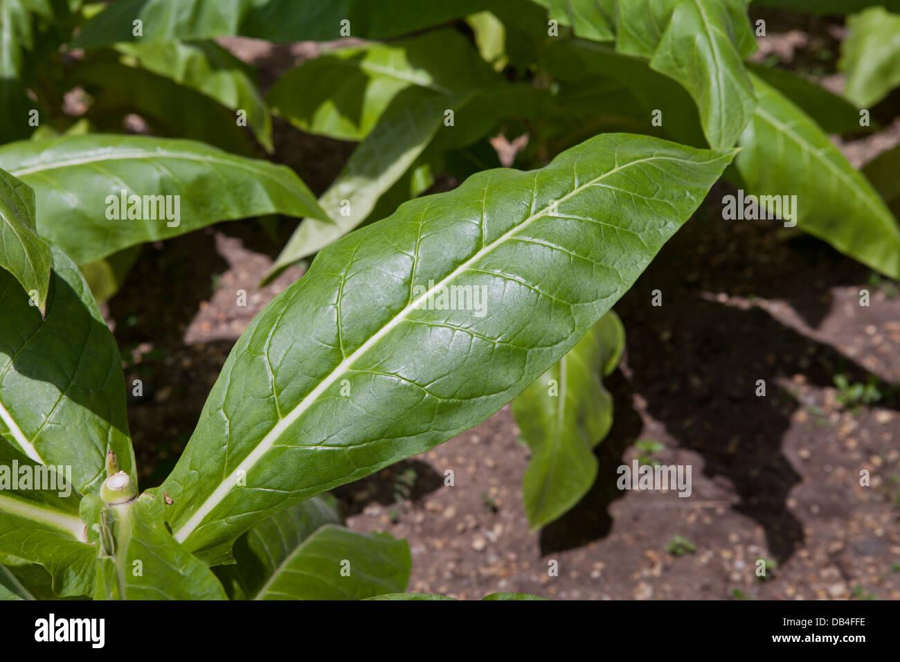Tobacco plant (Nicotiana tabacum) leaves - Stock Image