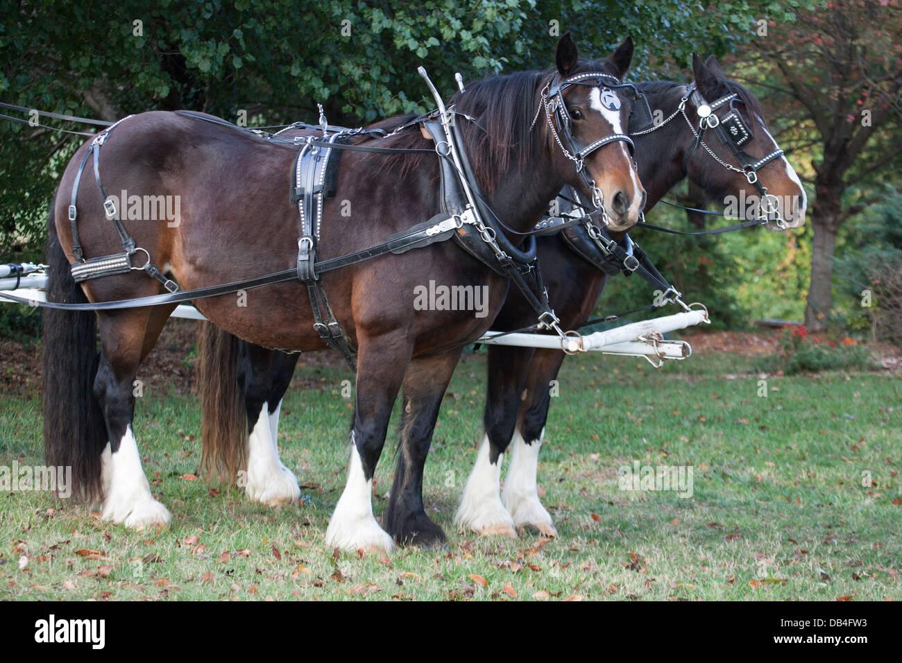 Draught horses (Clydesdale/Gelderlander) in harness - Stock Image