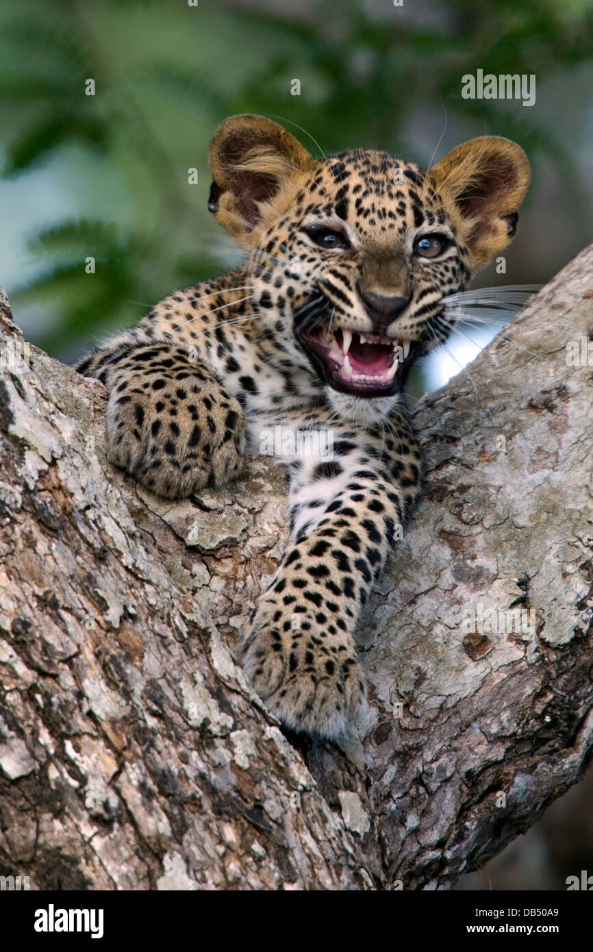 Sri Lankan leopard cub in the fork of a tree growling - Stock Image