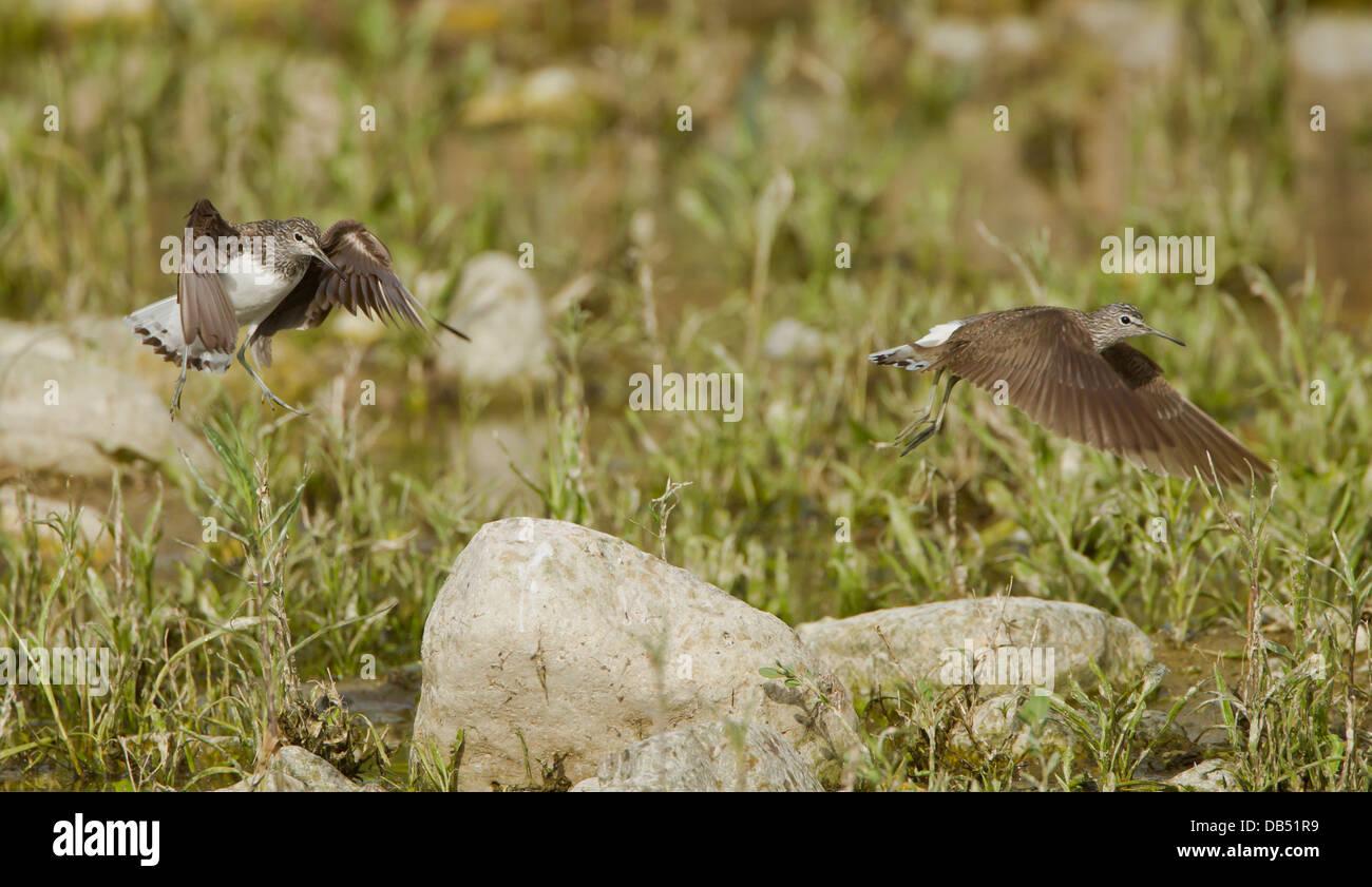 Green Sandpipers Tringa ochropus in flight April - Stock Image