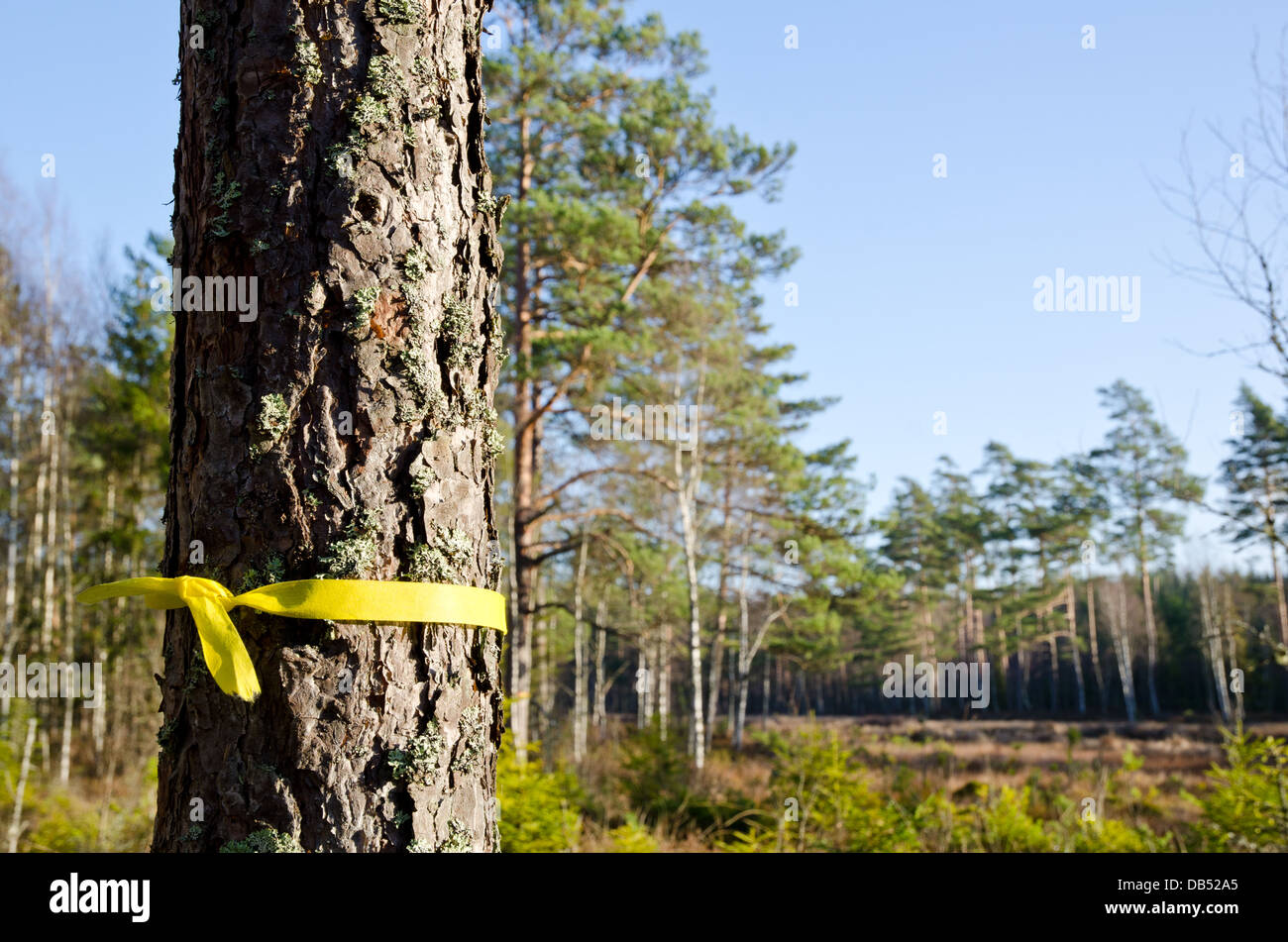 Selected pine tree - Stock Image
