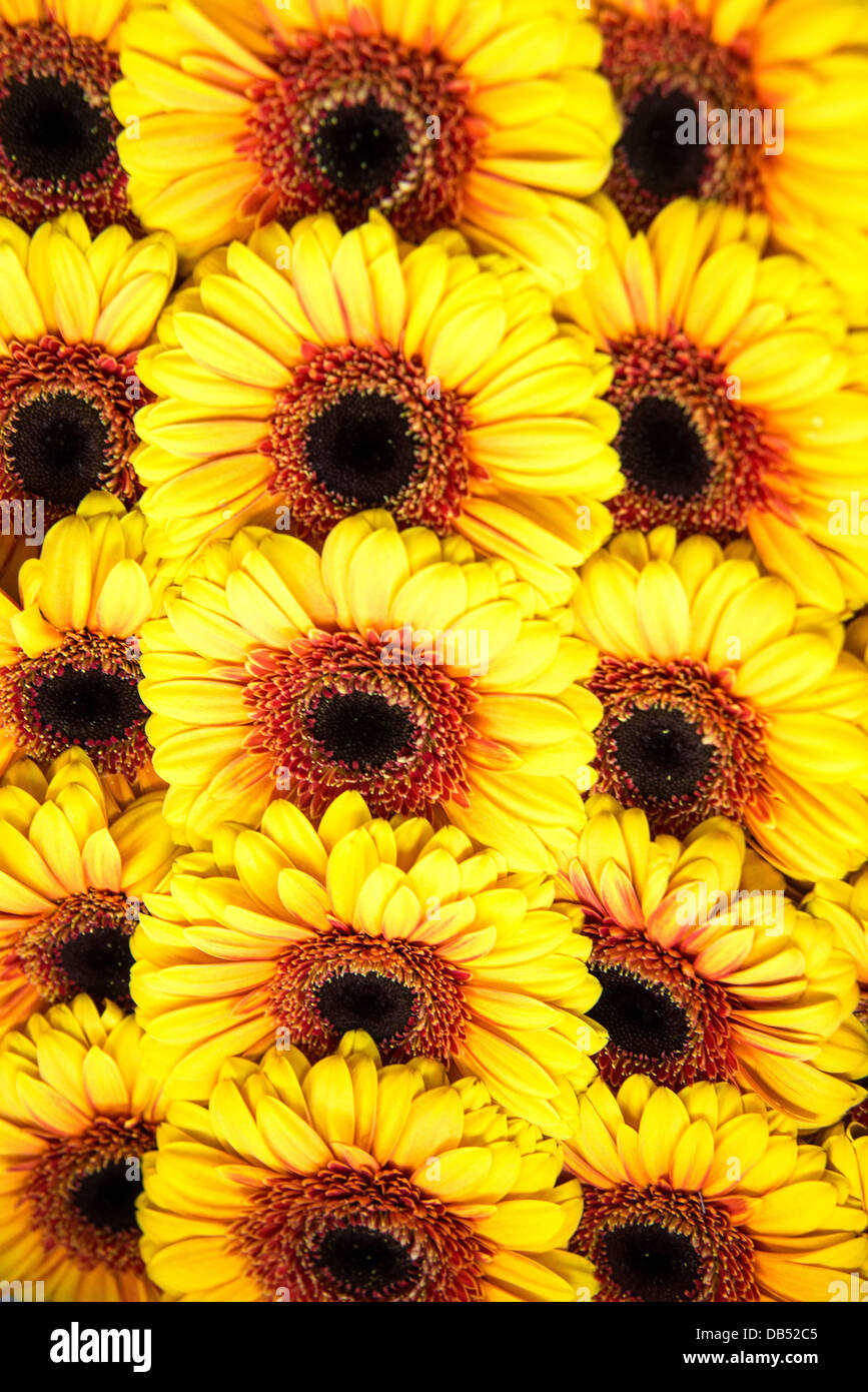 Sunflowers grouped together to form a seamless background - Stock Image