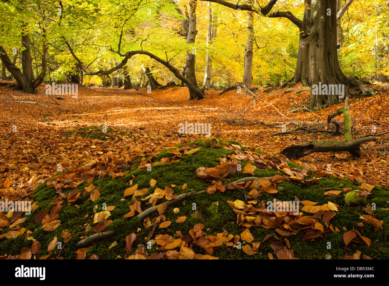 Avenue of ancient beech trees within Thunderdell wood in full autumnal colours, Ashridge Estate, Hertfordshire, - Stock Image