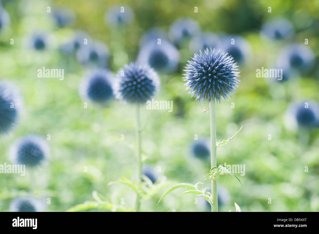 Blue Spiky Flowers Stock Photos Blue Spiky Flowers Stock Images