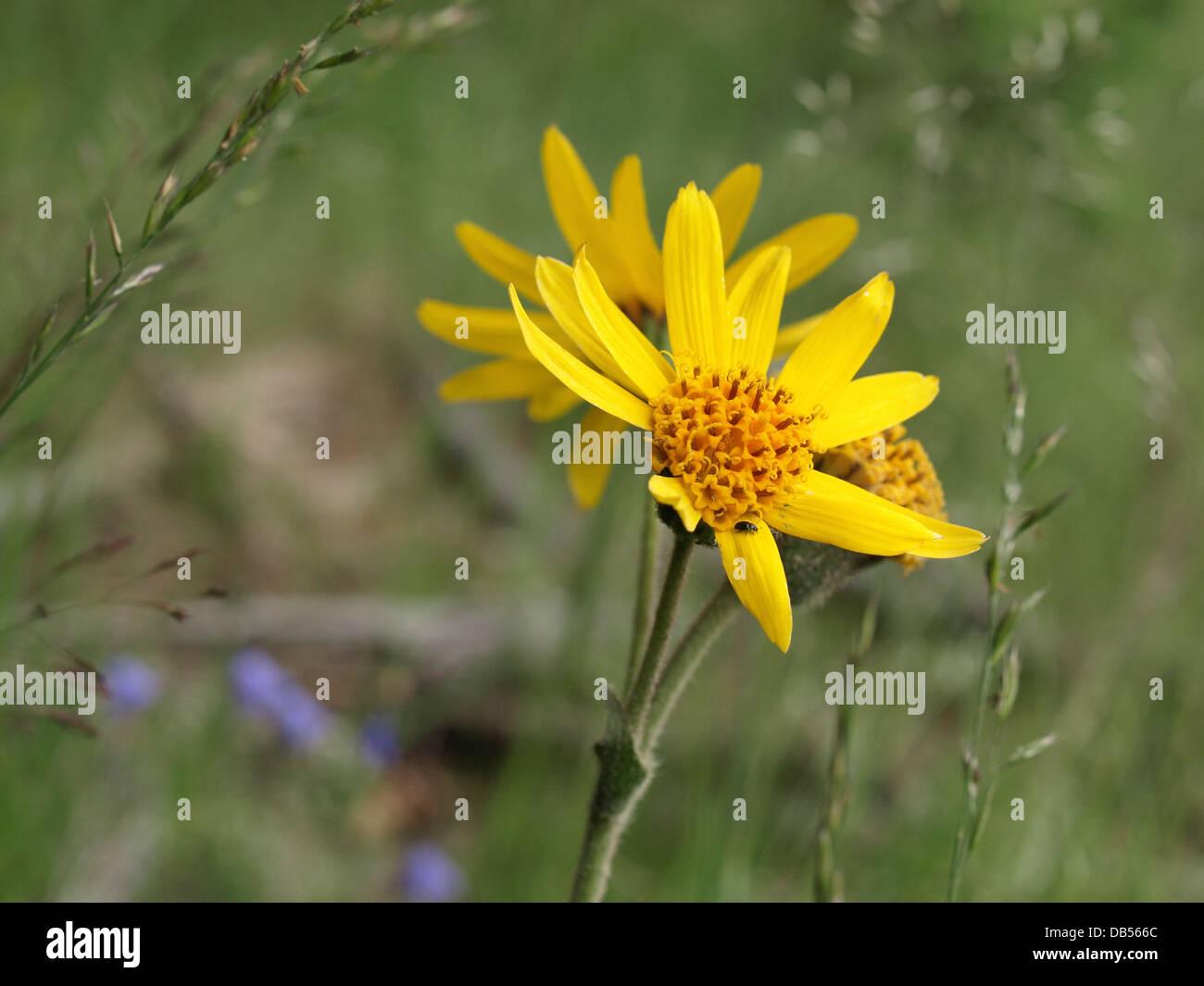 leopard´s bane, wolf´s bane, mountain tobacco, mountain arnica / Arnica montana / Echte Arnika Stock Photo
