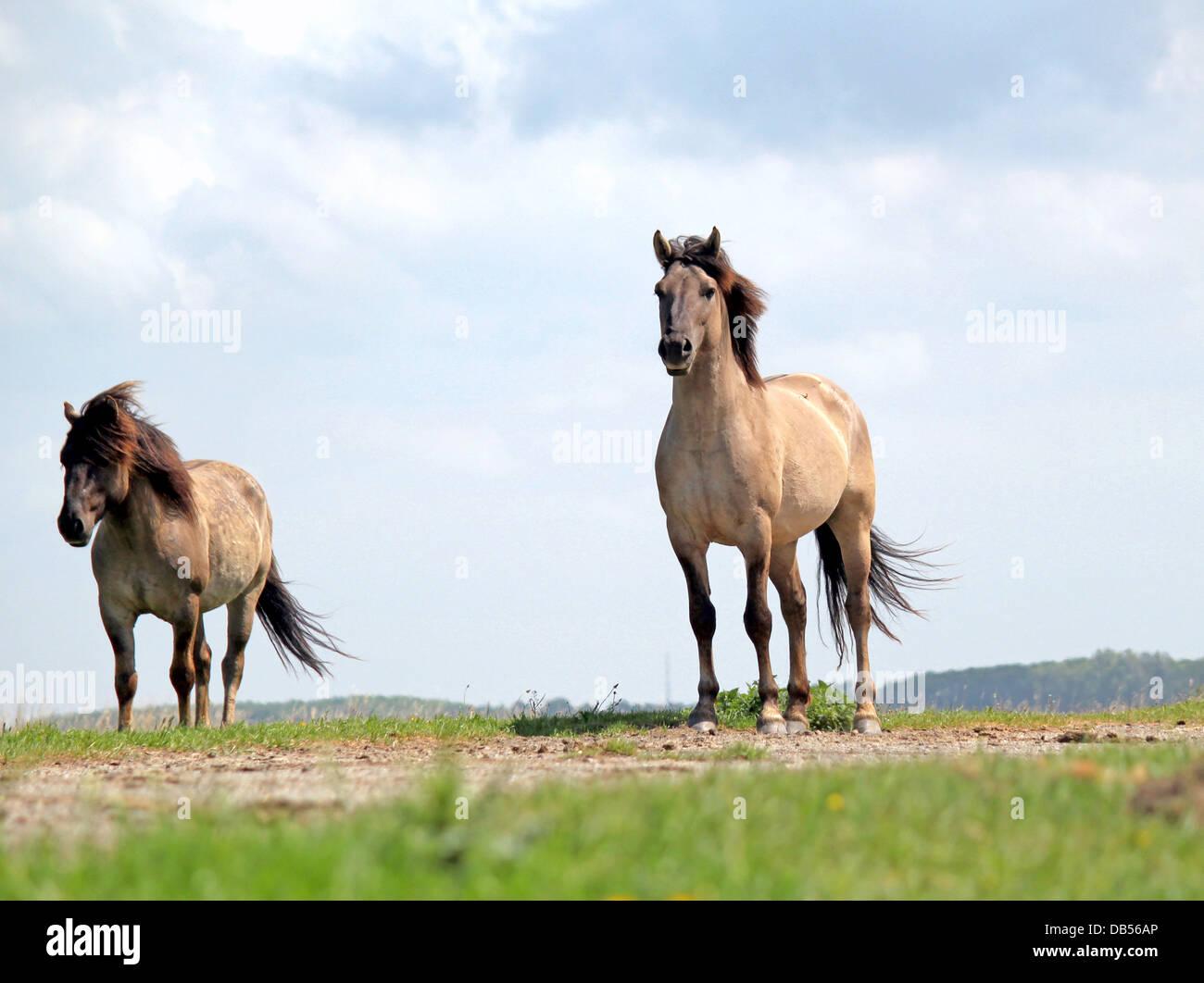 Polish primitive horses a.k.a. Konik Horses, low point of view - Stock Image