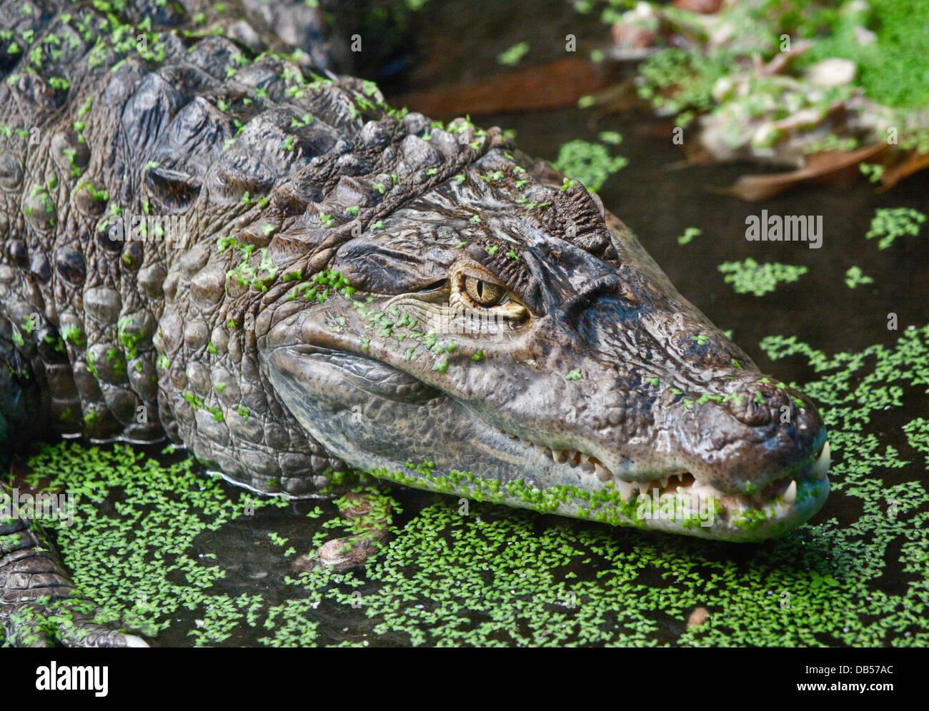 Spectacled Caiman ( caiman crocodilus) - Stock Image