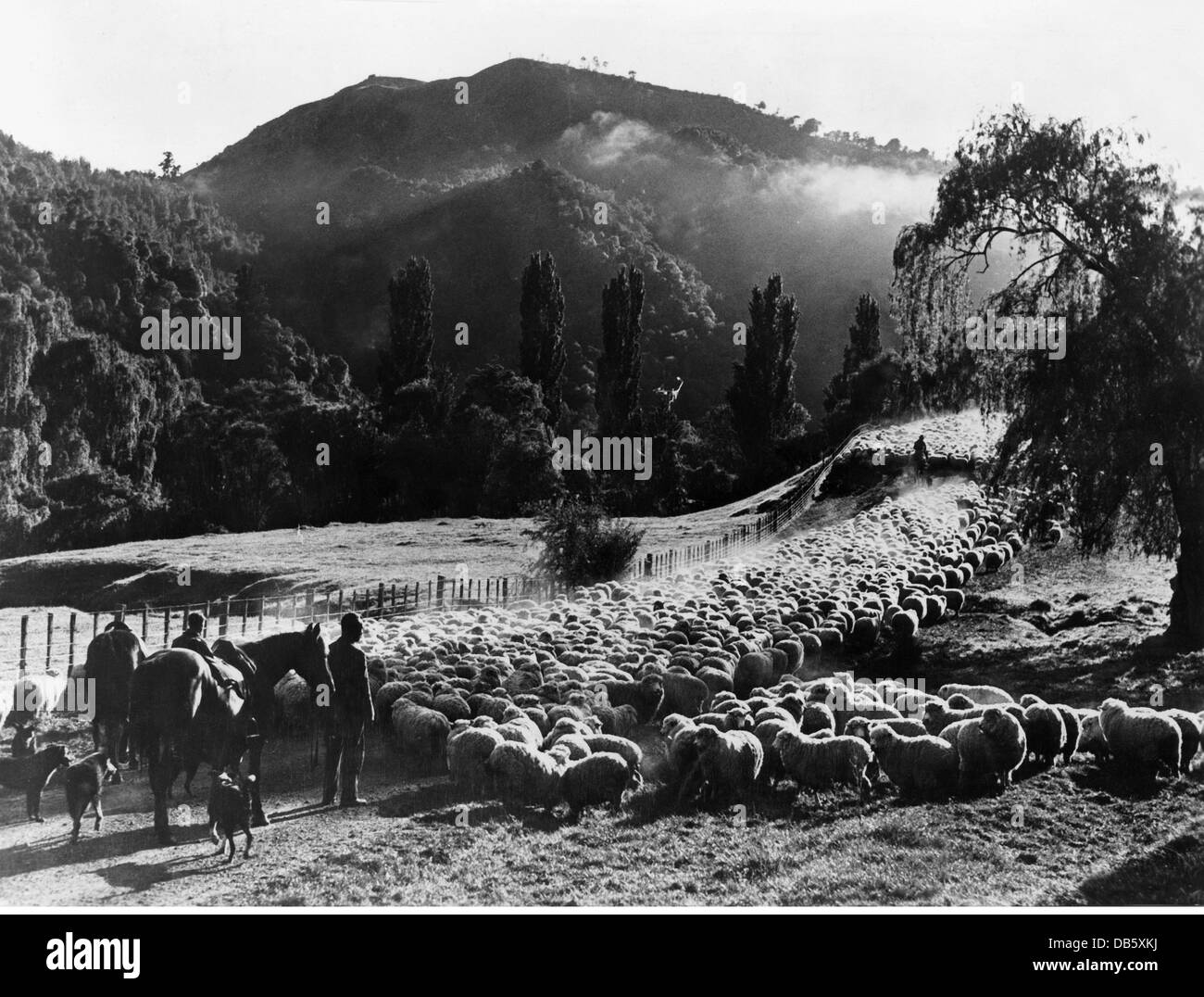 geography / travel, Great Britain, agriculture, shepherd with flock of sheep, Te Reinga, Northern Ireland, circa - Stock Image