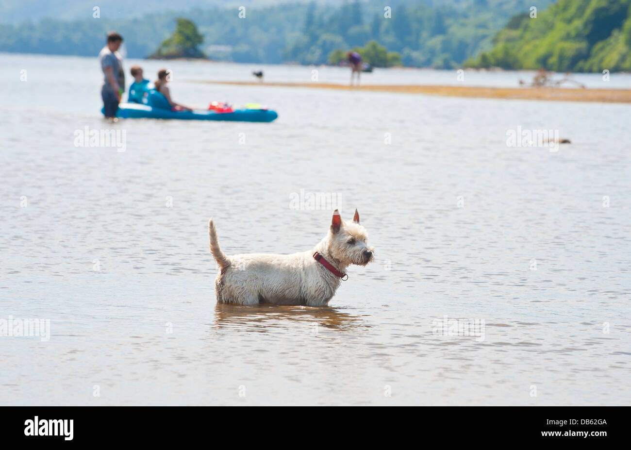 A West Highland terrier dog cools off in Lake Derwentwater in Keswick in the Lake District. - Stock Image