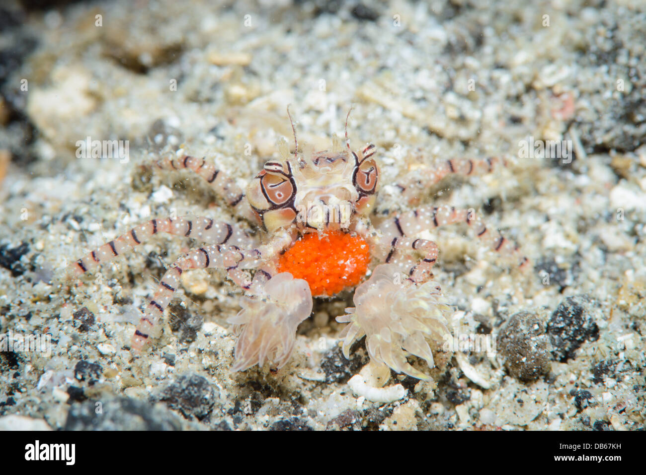 A boxer crab with eggs from ( Lybia tessellata ) from Lembeh Strait, Indonesia - Stock Image