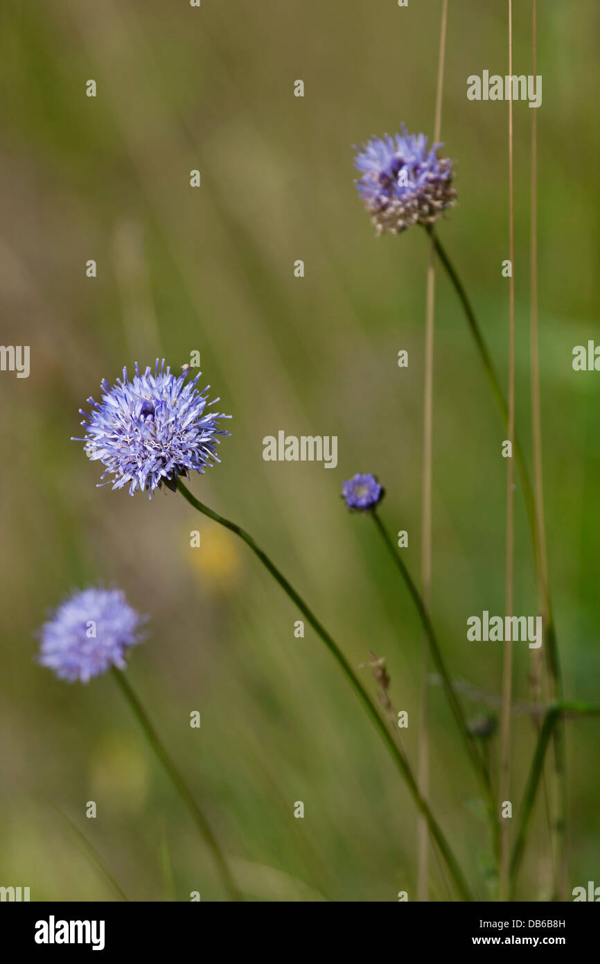 Sheep's Bit / Sheep Scabious (Jasione montana) in flower - Stock Image